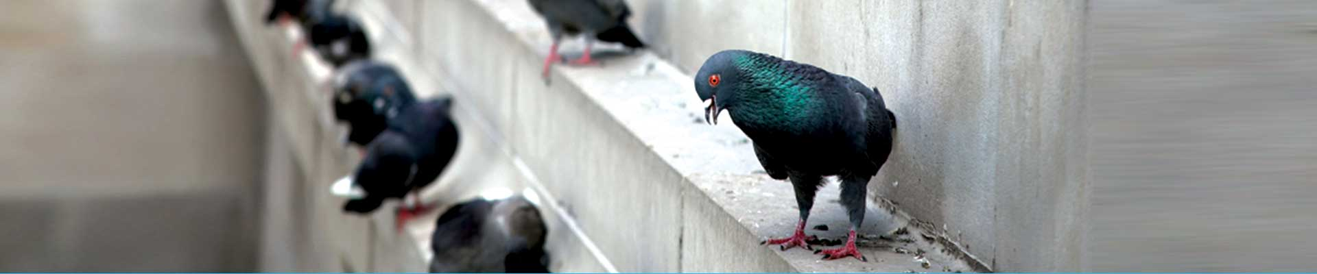 https://www.albanypestcontrol.co.uk/wp-content/uploads/2017/05/pigeon.jpg
